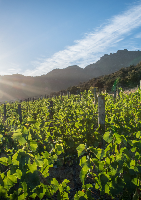 Lush vineyard with green leaves on a hill in the sun